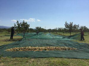Συγκομιδή φιστικιών με δίχτυα και πανιά από ελιές